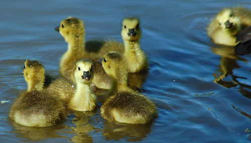 Six pack of Canada goslings | by A. Drauglis