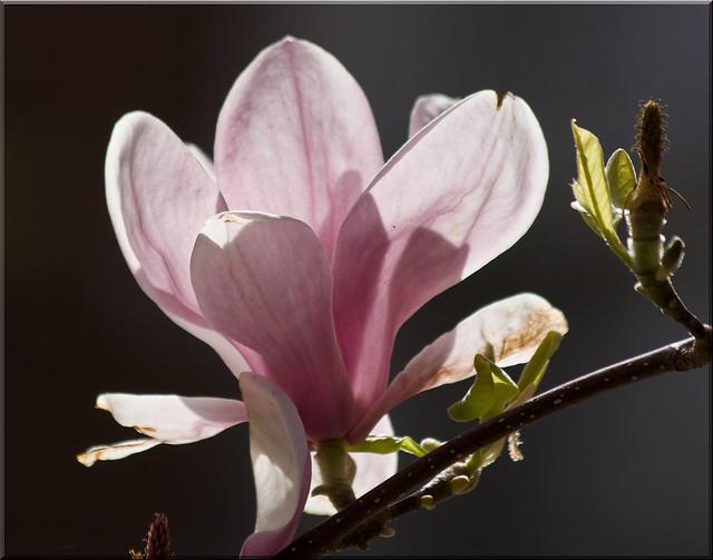 Magnolia !!!