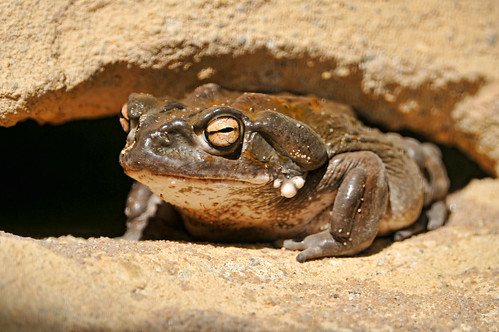 Big toad   by Tambako the Jaguar