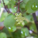 Muehlenbeckia complexa flowers