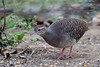 Pale-browed Tinamou 301V2798-1.jpg by BobLewis