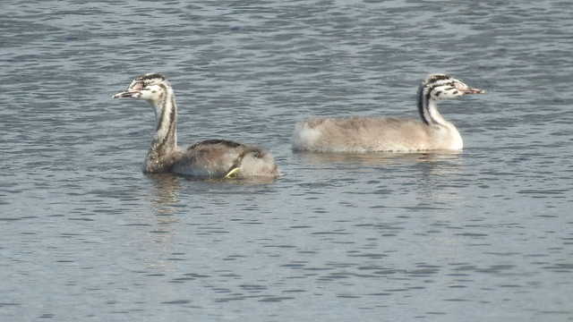 Great Crested Grebe chicks (Podiceps cristatus)