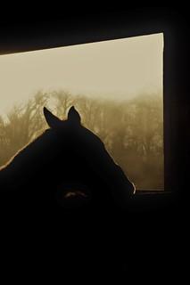 Equine Ears