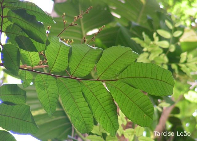Thyrsodium spruceanum, caboatã-de-leite