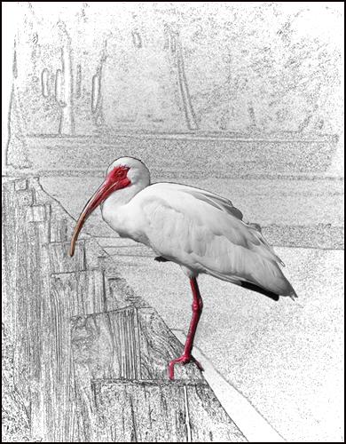 Red-billed Ibis