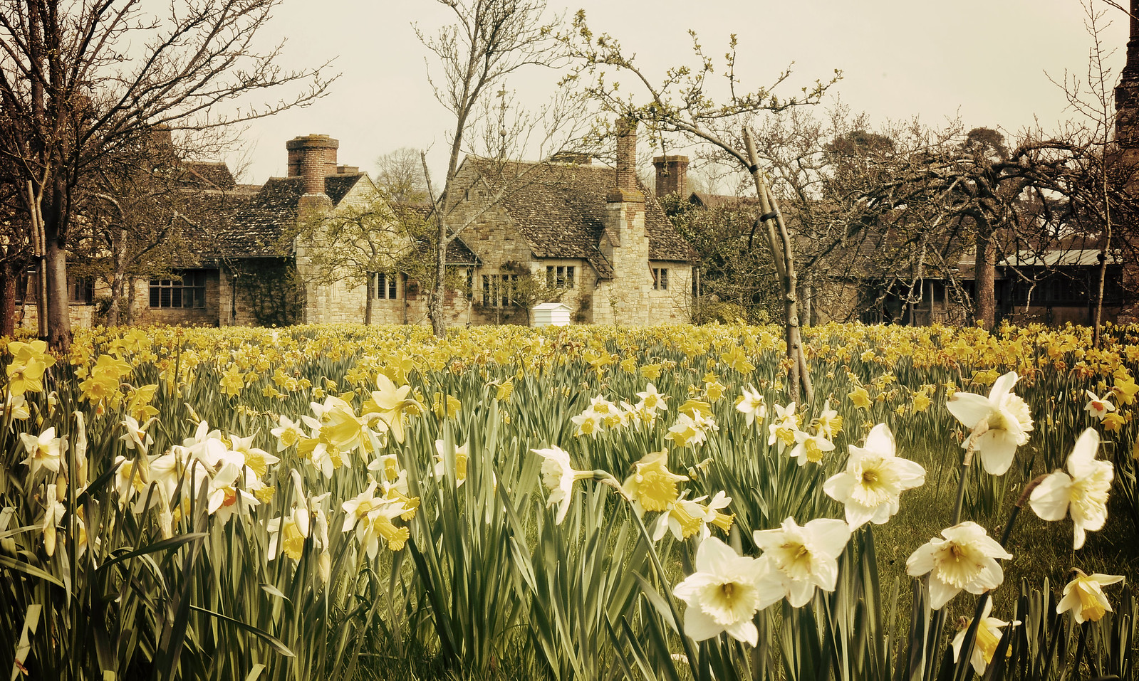 Sea of yellow and white A beautiful carpet of daffodils to the side of Hever Castle.