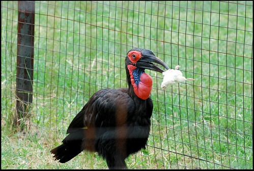 Ground Hornbill Eating | by zenseas