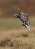 Sharp-Tailed Grouse Flight by Rob McKay Photography