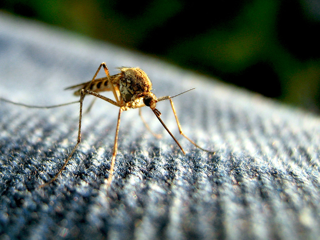 A yellow fever mosquito