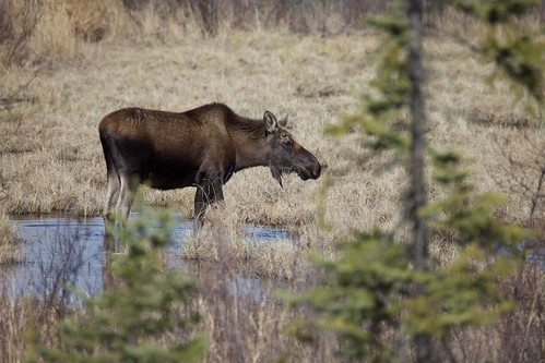 Moose! | by mmmavocado