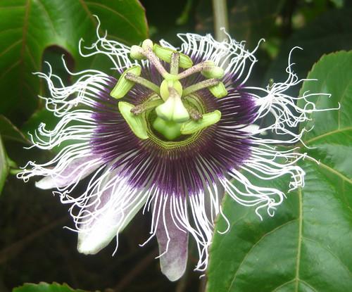 Passiflora edulis | by tonrulkens