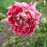 Rose Paul Red Star