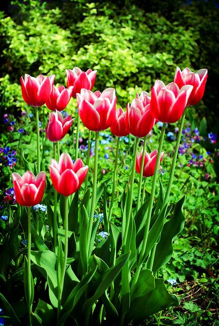 Andrea's Tulips