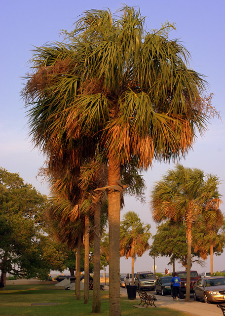 Palmetto Trees on Battery