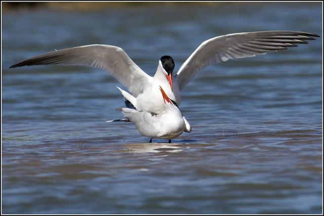 Tern (Caspian) - 0524