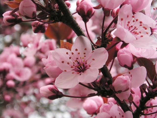 Blutkirsche (Prunus cerasifa 'Nigra')