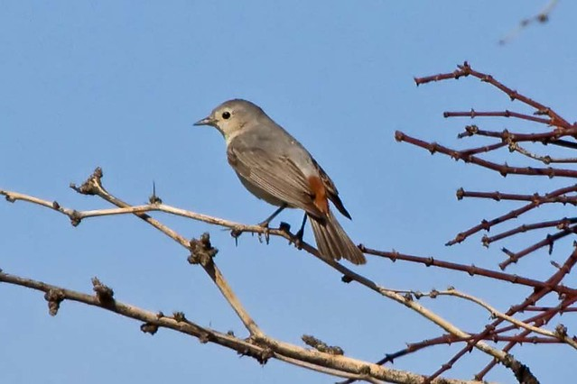 Lucy's Warbler at Sunset Park