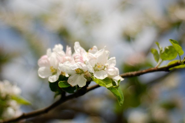 appletree blossoms 2