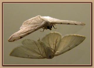 Mirror Moth   by LadyDragonflyCC - >;<