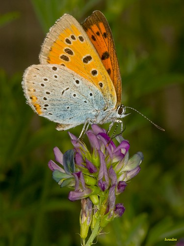 lycaena dispar_2010_06_13_5015 | by heodes
