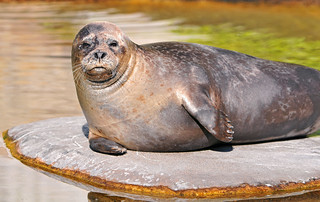 Seal on an island   by Tambako the Jaguar