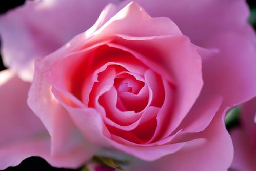 Rose, Jardins de France | by nekonomania