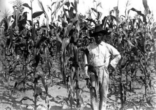 African American farmer standing in corn field: Alachua County, Florida