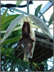 DSC02047 Orchidee