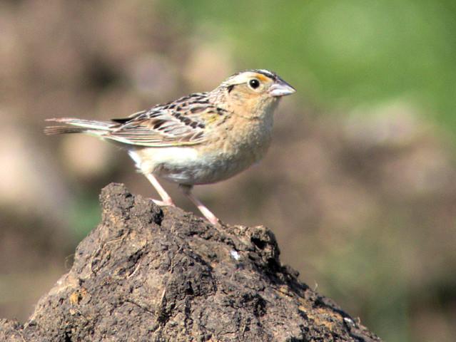 Grasshopper Sparrow 01-20170629