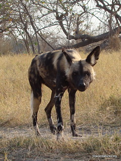 African Wild Dog | by Crazy Creatures