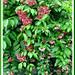 Quisqualis indica (Rangoon Creeper Vine) in the neighbourhood #1