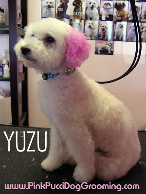 Yuzu Toypoodle Color Dyed Ears And Tail Japanese Style Dog