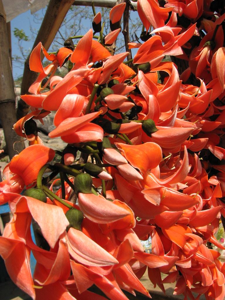 palash flower | palash576 | Flickr Palash Flowers Images