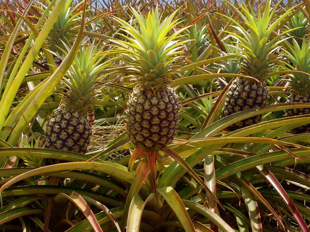 Pineapple Fields, Oʻahu