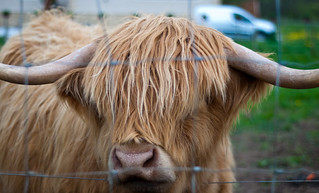 020510_ Highland Cow #1 (122/365) | by Headphonaught
