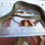 Herald Snake - Crotaphopeltis hotamboeia 1f