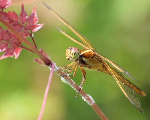 waterfront dragonfly bokeh © 70300mm odonata washingtonnc pamlico meadowhawk sympetrum garyburke olympuse620