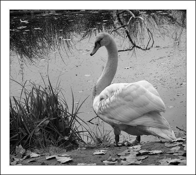 Swan in black & white