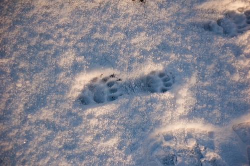 Badger footprints