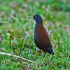 อัญชันหางดำ Black-tailed Crake by somchai@2008