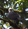Black-and-white Hawk-Eagle by uropsalis