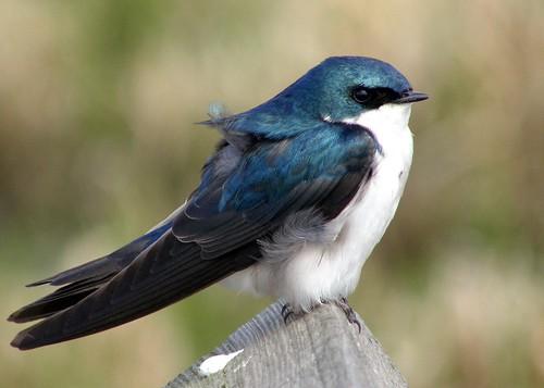 tree swallow bicolor treeswallow tachycinetabicolor tachycineta