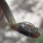 Herald Snake - Crotaphopeltis hotamboeia 1g