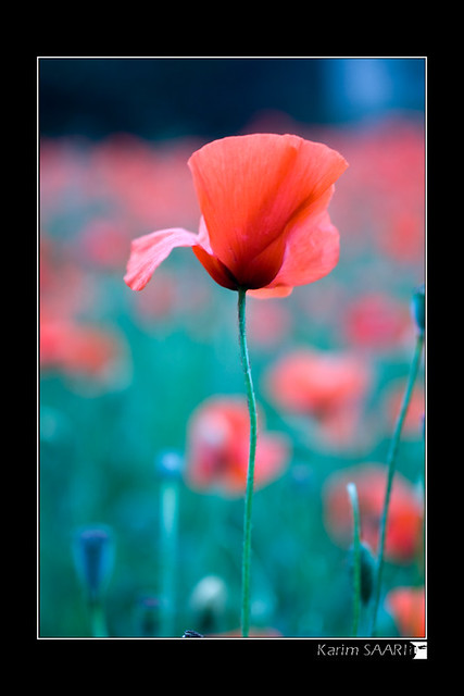 red flower par karim saari - photographe marseille
