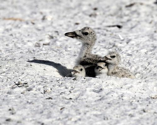 black skimmer chicks wildlife nature bird immature stpete fl florida colonies 7dm2 canon