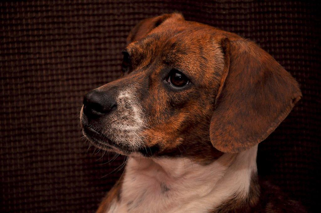 B- Beagle/Boston Terrier 54-365