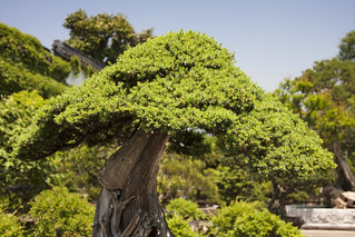Bonsai Tree in the Humble Administrator's Garden by IceNineJon