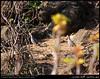 Two Arabian Partridges Running in Wadi Hinna, Dhofar by Shanfari.net