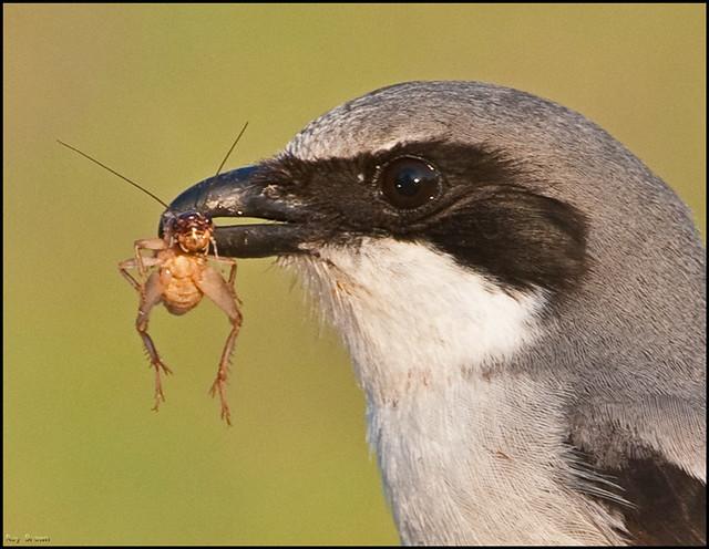 Loggerhead Shrike with Prey
