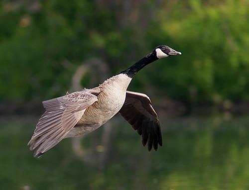 canada bird minolta g flight goose apo 300mm ii tc delaware f4 hs 14x specanimal platinumheartaward newgoldenseal flickraward5 flickrawardgallery